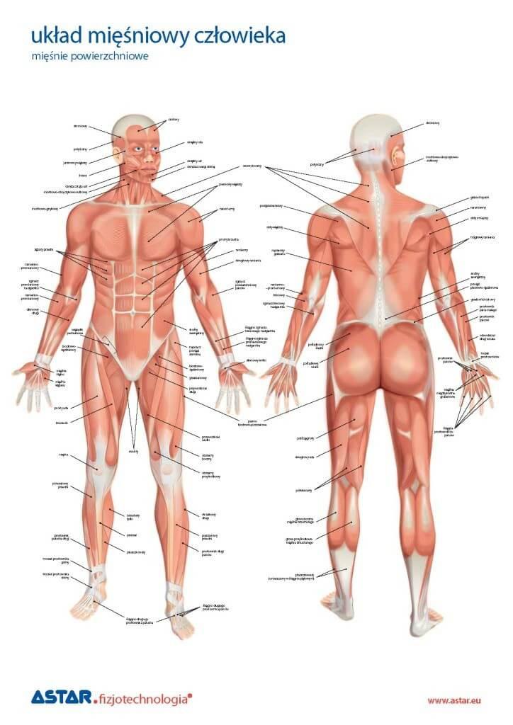 Plansza anatomiczna układ mięśniowy czowieka